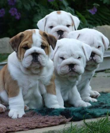 Cute Female and Male Eng.glish Bul.ldog Pu.pp.ies available (260) 267-0410