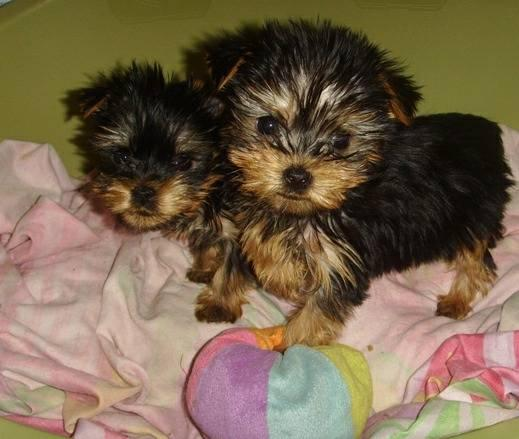 Yorkie puppies looking for a new House !