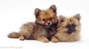 cute P.O.M.E.R.E.N.I.A.N puppies for rehoming contact us (231) 828-9207