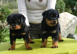 FREE  Free  Rott..weiler Pu.ppies Not For Sell Free) Need Home???269 -397-2519