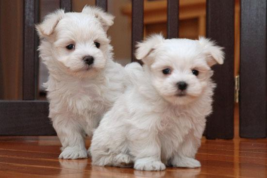 ???Top Quality Malteses Puppies:....contact us at ???