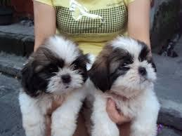 ** Shih Tzu Puppies;(980) 288-7388 -- (small fees)