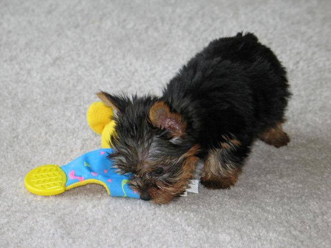 available male and female yorkie babies for adoption