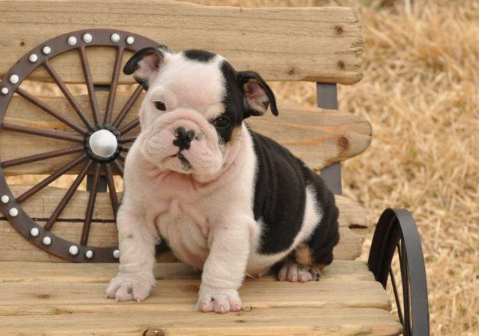 Cute ENGLISH BULLDOGS PUPPIES(717) 739-6675