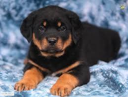 Affectionate M/F R.O.T.T.W.E.I.L.E.R Puppies!!!(440) 209-2787
