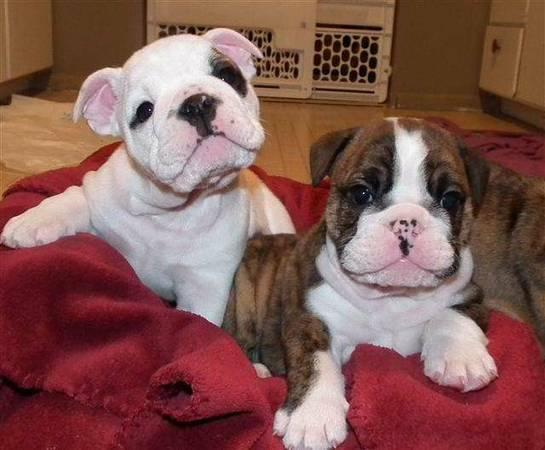 //Females and Males E.n.g.l.i.s.h B.u.l.l.d.o.g puppies in need of a good home//