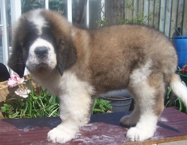 Sweet .Saint B.e.r.n.a.r.d puppies!!!sms (701) 446-8139