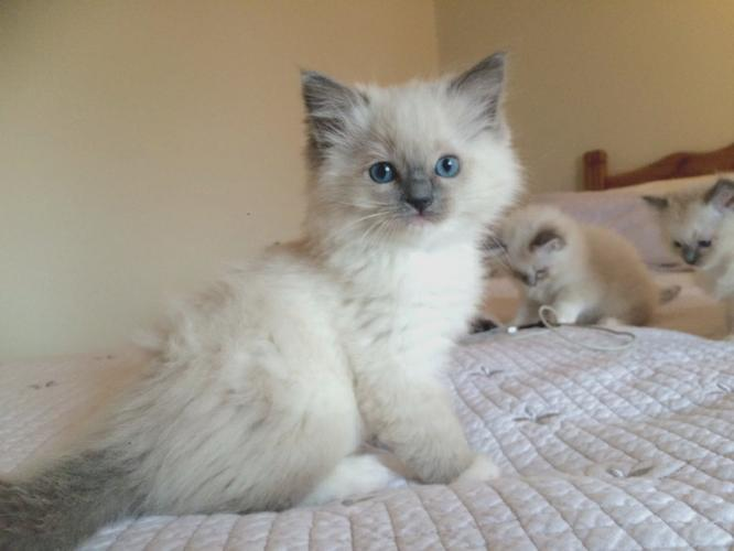 2 White Ragdoll kittens available