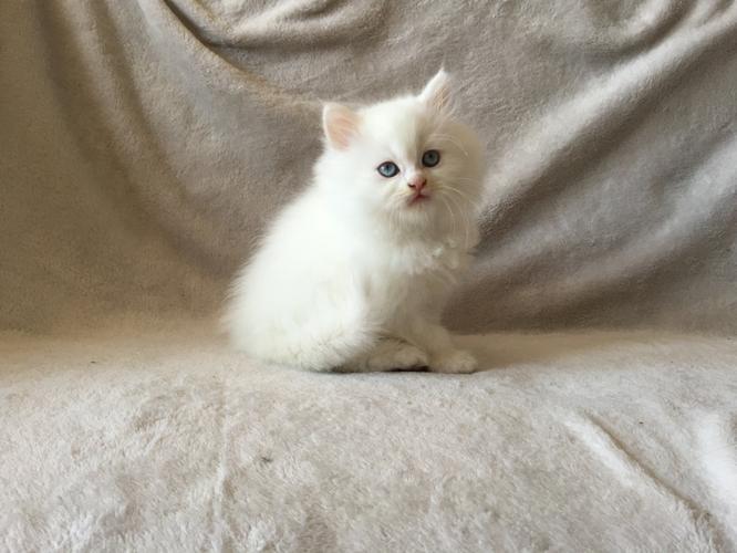 2 Lovely persian kittens need new homes