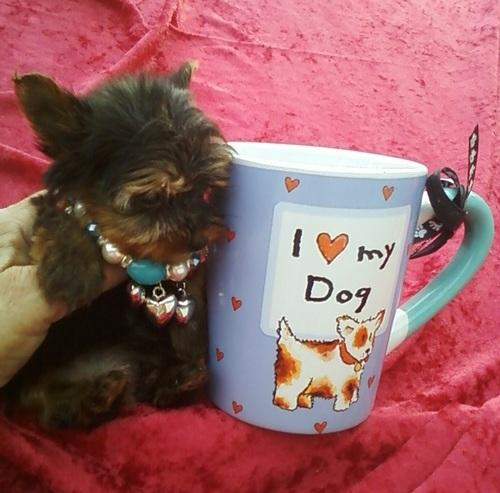 FREE CUTE TEA CUP Y.O.R.K.I.E P.u.p.p.i.e.s for Loving Homes(352) 474-5944