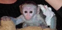 Capuchin,Marmoset and Squirrel Monkeys 4 Adoption text at 5054313750