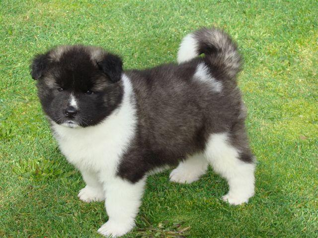 ???Pretty Female and Male  A.K.I.T.A puppies??? (719)937-7502