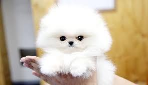 Flashy P.o.m.e.r.a.n.i .a.n puppies (631) 533-0129