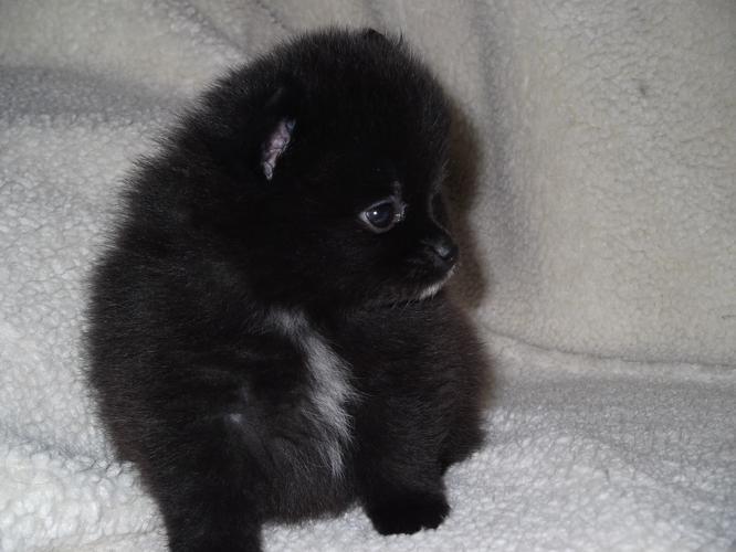 Charming eyes P.o.m.e.r.a.n.i .a.n puppies (631) 533-0129