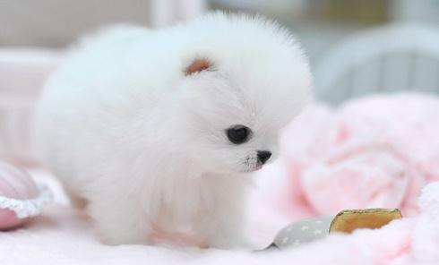 Best  Tiny P.o.m.e.r.a.n.i .a.n puppies (631) 533-0129