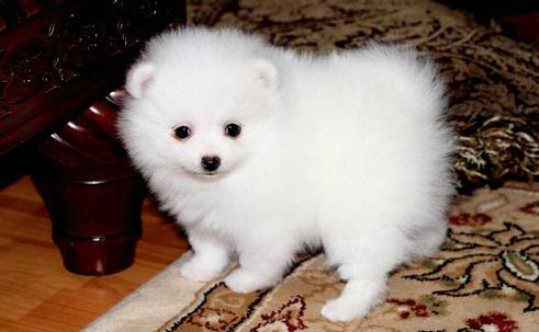 Male and Female Pomeranianss Puppies Available 3365936887