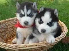???free Quality siberians huskys Puppies:???contact us at(707) 840-8141