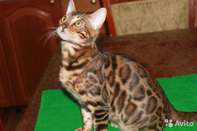 Purebreed Bengal Kittens