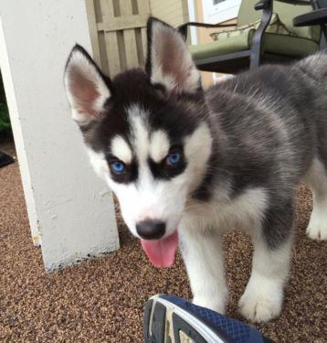 Gorgeous Siberiaan Huskee puppies looking for good homes//(806) 402-3999