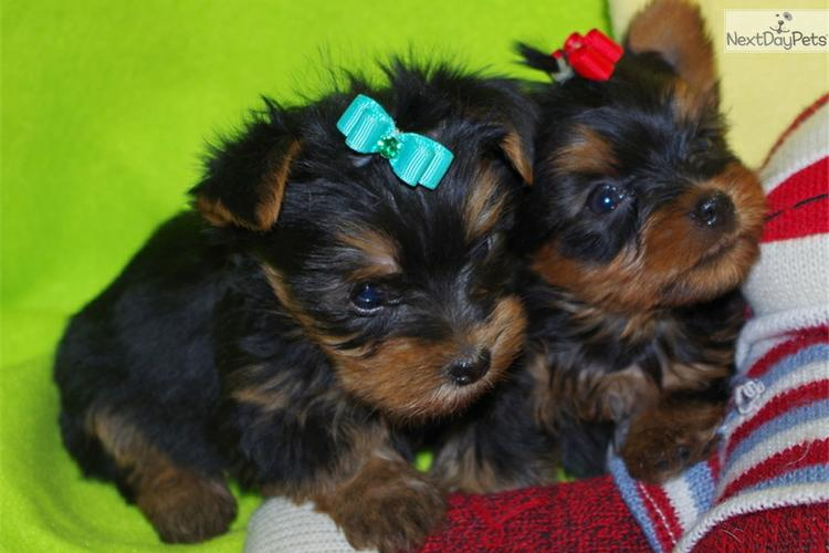 ?Y.o.R.k.i.e P.upp.i.e.s For F.r.e.e, Ready Now 12 Weeks Old # (815) 317 4959