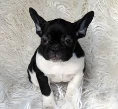 Cute Fr.ench Bu.lldog Puppies.$250each !!! (601) 617-4511