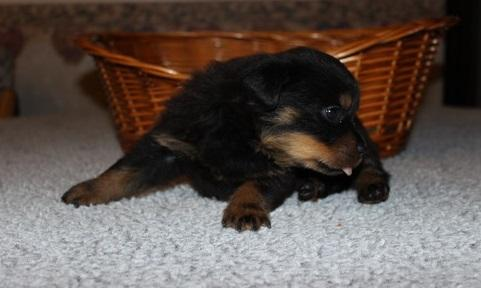 Affectionate M/F Rottweiler Puppies!!!Sms 701 409-0063
