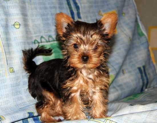 Last Beautiful Y.O.R.K.I.E Puppy Ready To Go