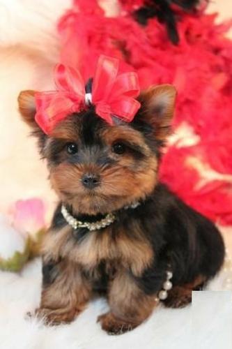 Last Beautiful Y.O.R.K.I.E Puppy Ready To Go..