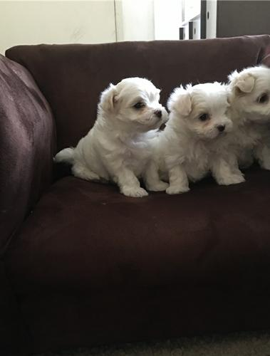 Pretty little Maltese puppies ready to meet a new home