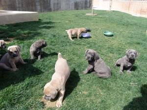 Cane corso pup ready to find new home