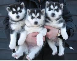 FREE Quality siberians huskys Puppies: