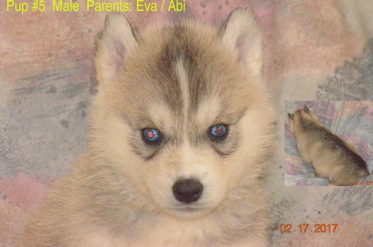 PennySaver | Purebred Siberian Husky Pups in Kern