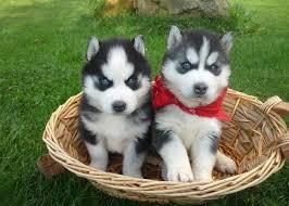 Cute s.b.e.r.i.a.n h.u.s.k.y Puppies 5055857795
