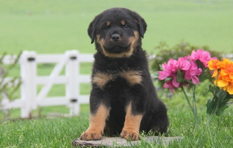 *Top Quality Female and Male R.o.t.t.w.e.i.l.e.r puppies (757) 231-5246