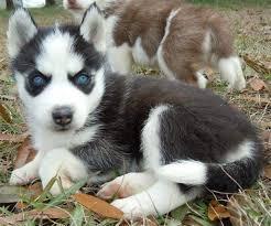 CUTE S.I.B.E.R.I.A.N H.U.S.K.Y Puppies: contact us at   (208) 682-7460