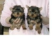 Teacup Y.o.r.k.i.e Puppies For Rehome Contact#...;'; .Males and females available with de-wormings ,