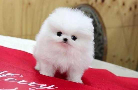 Pure breed P.o.m.e.r.a.n.i .a.n puppies (412) 294-9441