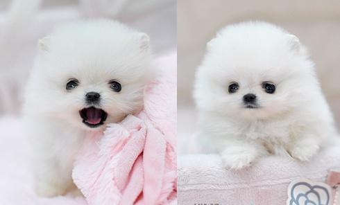 baby doll faces 100% pure breed P.o.m.e.r.a.n.i .a.n puppies (631) 533-0129