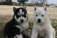 Male and Female Puppies