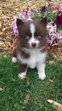 Cute P.o.m.s.k.y Puppie.s (315) 514-2710