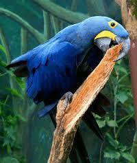 Les Perroquet gris Africain  A Vendre!