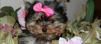 BEAUTIFUL Y.O.R.K.I.E.S Puppies: contact us at (216) 929-1821 any time