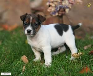 Little CUTE Jack Russell's Pu.ppies Need 4ever Home (469) 906-0671