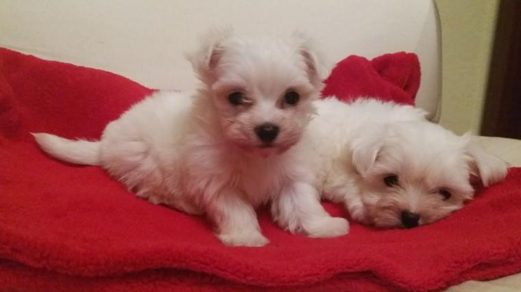 FREE Cute M.a.l.t.e.s.e Puppie.s  FREE