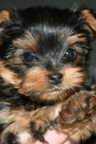 ?Y.o.R.k.i.e P.upp.i.e.s For F.r.e.e, (678 631 9571/Ready Now 12 Weeks Old #