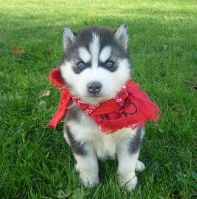 Quality siberians huskys Puppies