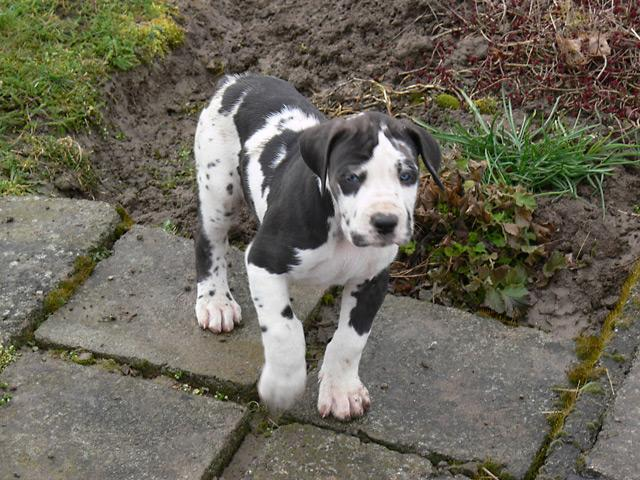 Both males and females GREAT  DANE pups