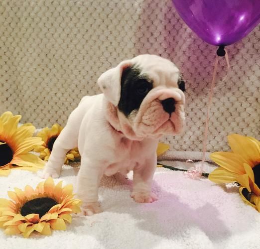 SWEET E.N.G.L.I.S.H. BU.L.L DOG PUPPIES for Loving Homes!!!(443) 212-8649