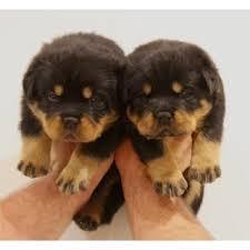 Male and Female R.o.t.t.w.e.i.l.e.r puppies (651) 347-6712