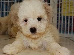 Cute M.A.L.T.I.P.O.O Puppies (770) 904-1266 :???